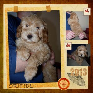 "Orifiel is a 100% Australian Service Dog ""ASD"" type of Australian Labradoodle"