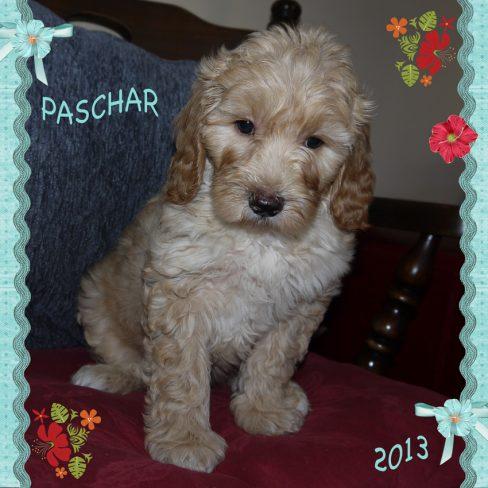 Paschar is a 100% Australian Service Dog