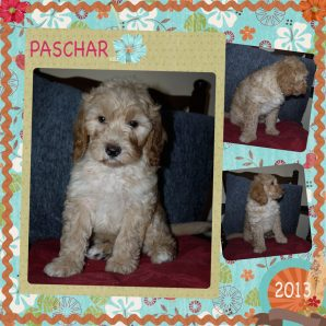 "Paschar is a 100% Australian Service Dog ""ASD"" type of Australian Labradoodle"