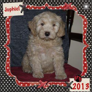 """Jophiel is a 100% Australian Service Dog """"ASD"""" type of Australian Labradoodle"""