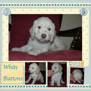 "White Buttons is a 100% Australian Service Dog ""ASD"" type of Australian Labradoodle"