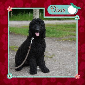 "Dixie is a 100% Australian Service Dog ""ASD"" type of Australian Labradoodle"