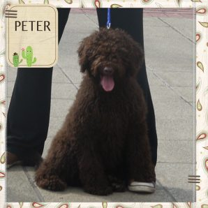 "Peter is a 100% Australian Service Dog ""ASD"" type of Australian Labradoodle"