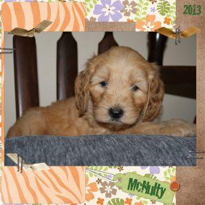 "McNulty is a 100% Australian Service Dog ""ASD"" type of Australian Labradoodle"