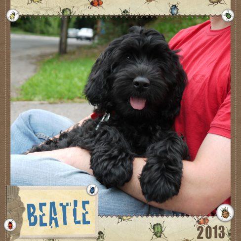 Beatle is a medium black fleece coated ASD Australian Labradoodle