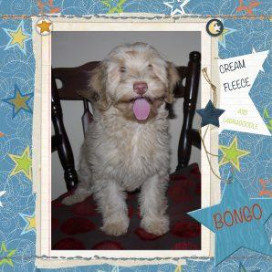 "Bongo is a 100% Australian Service Dog ""ASD"" type of Australian Labradoodle"