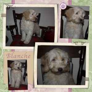 "Blanche is a 100% Australian Service Dog ""ASD"" type of Australian Labradoodle"