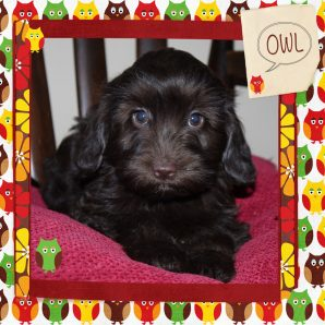 Owl is a female mini fleece ASD Australian labradoodle