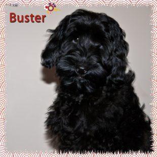 Buster Black Australian Labradoodle