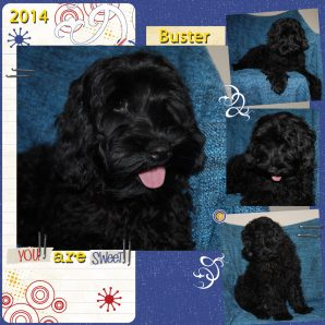 "Buster is a 100% Australian Service Dog ""ASD"" type of Australian Labradoodle"