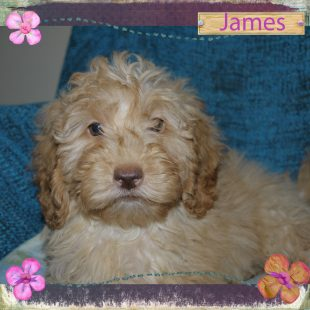 James is a medium apricot ASD Australian Labradoodles with beautiful curly fleece coat and rose nose