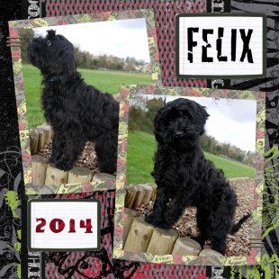 Miniature Black Fleece ASD Australian Labradoodle - Felix