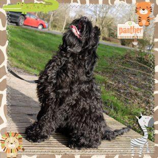 Panther is a large mini black ASD Australian Labradoodle
