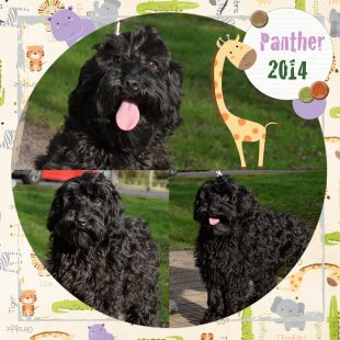 Panther is a large mini black ASD Australian Labradoodle