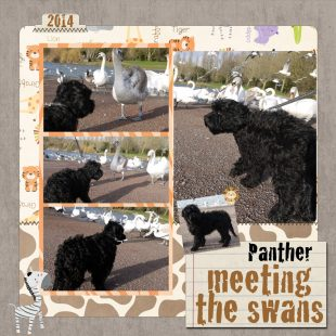Panther is a large mini black ASD Australian Labradoodle meeting with Swans