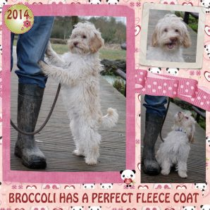 "Broccoli is a 100% Australian Service Dog ""ASD"" type of Australian Labradoodle"