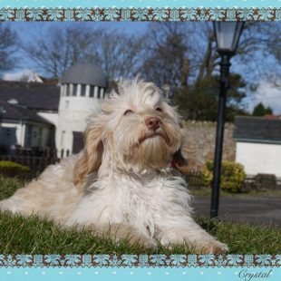 Crystal is a light cream (rose nose) female ASD Labradoodle.