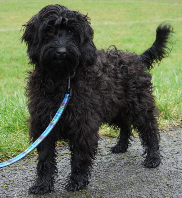 black cobberdog puppy
