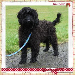 Bouncer is a male mini ASD Australian labradoodle