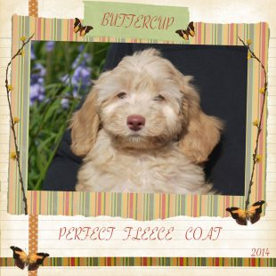 Buttercup is a mini female fleece apricot fleece ASD Australian Labradoodle