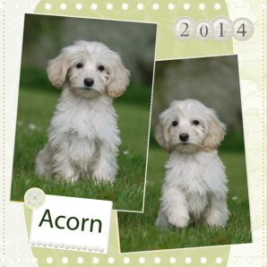 "Acorn is a 100% Australian Service Dog ""ASD"" type of Australian Labradoodle puppy."
