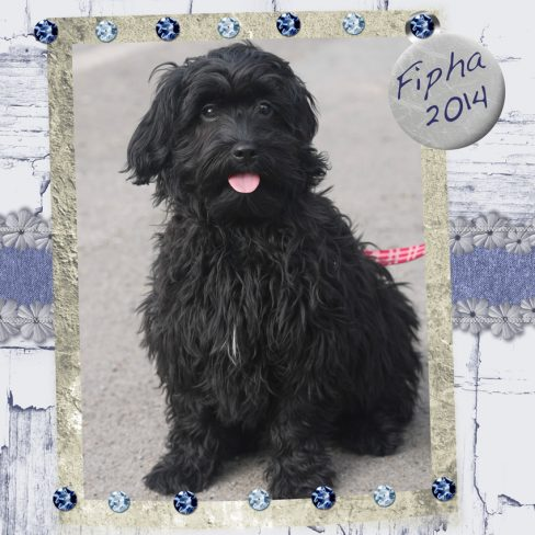 Fipha is a mini female fleece ASD Australian Labradoodle