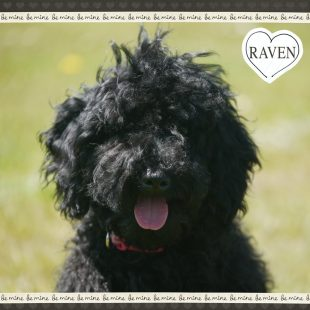 Raven is a blackn miniature Labradoodle puppy. Her breed is 100% ASD Australian Labradoodle, also known as Australian Cobberdog.