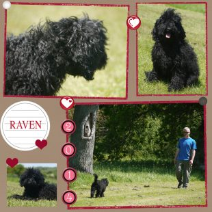 Raven is a mini curly fleece/wool coated ASD Australian Labradoodle