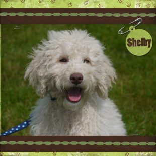 Front Facing Male Curly Cream White Australian Labradoodle Shelby