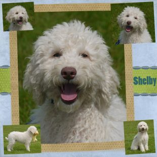 Shelby is a male curly fleece asd labradoodle with light cream colouring and rose pigmentation