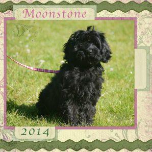 Black ASD Australian Labradoodle Puppy