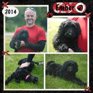 mber is a Medium Black Fleece Female ASD Australian Labradoodle