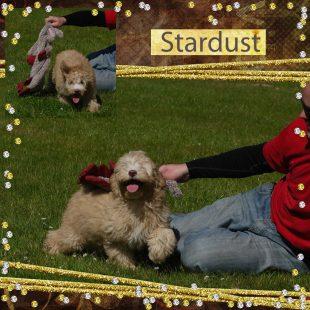 Stardust is a mini apricot ASD Australian Labradoodle.