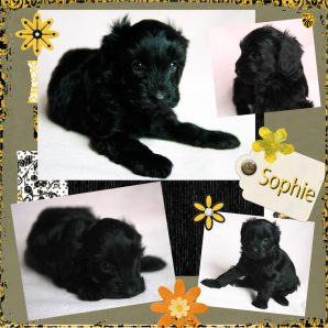 Sophie Black Labradoodle Puppy by doodleDogs.
