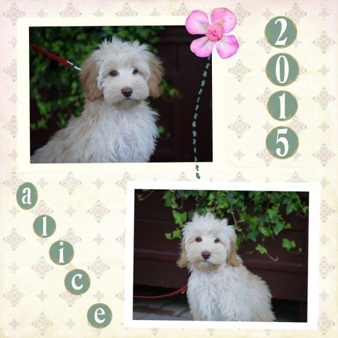 Alice is a cream Cobberdog puppy bred by doodleDogs. Her breed is a pure breed Australian Labradoodle, also known as Australian Cobberdog. She is a trained a labradoodle.