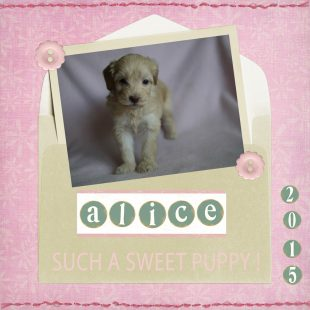 Alice cream labradoodle