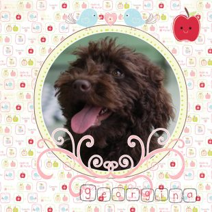 Georgina is a large mini/small medium chocolate curly fleece labradoodle