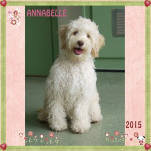 Annabelle is a white Mini Labradoodle with a Fleece Coat. She has a rare and stunning Rose Nose, and she has greeny/amber eyes.