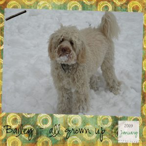 Curly Apricot Australian Labradoodle