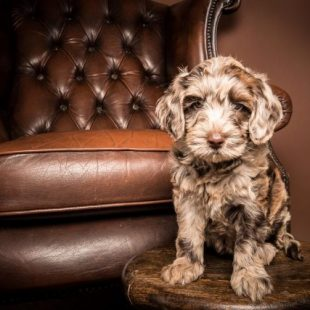 Medium Chocolate Merle Australian Labradoodle