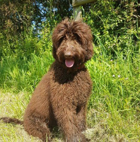 Doodledog's Grace, A Chocolate Cobberdog