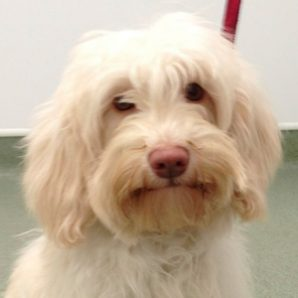 Fifi is a white Labradoodle with a fleece coat and a rose nose