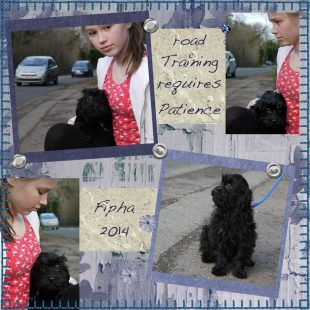 Fipha - Labradoodle on Road Training with Grace