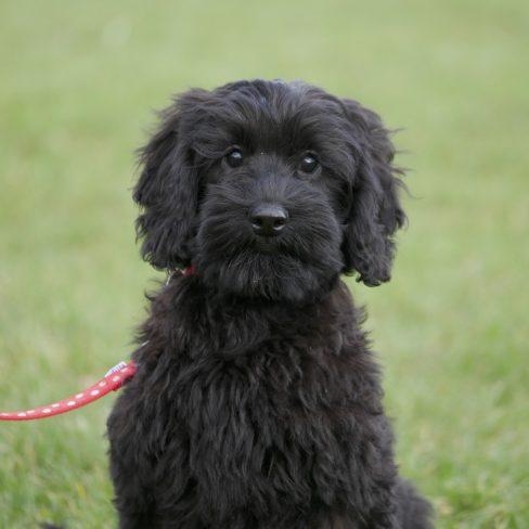 large mini black Australian labradoodle puppy