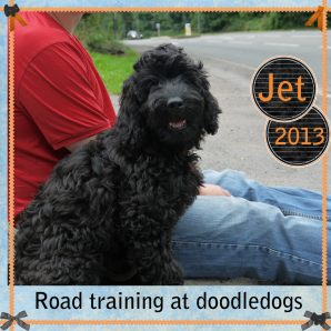 "Jet is a 100% Australian Service Dog ""ASD"" type of Australian Labradoodle"