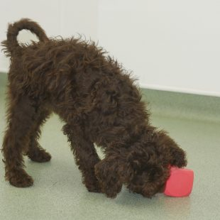Chocolate Labradoodle Puppy Dumbells