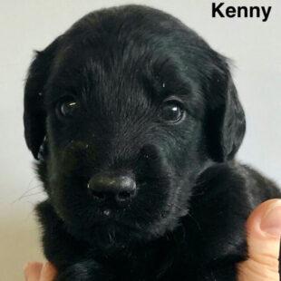 Kenny - Black Australian Labradoodle