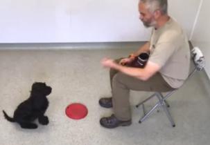 Kenny R - fleece black medium male trainedaustralian cobberdog