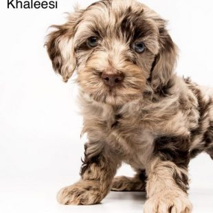 Chocolate Merle Labradoodle