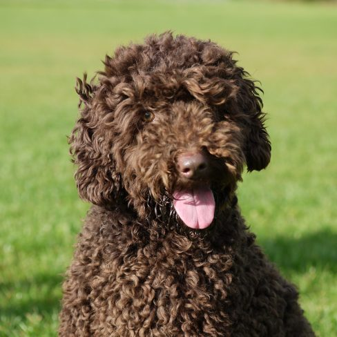 Trained Labradoodle in the Park